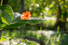 Αναδρομικά φωτισμένα λουλούδια sebestena cordia στο φύλλο Στοκ εικόνες με δικαίωμα ελεύθερης χρήσης