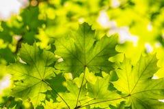 Αναδρομικά φωτισμένα πράσινα φύλλα σφενδάμου πέρα από το θολωμένο φύλλωμα Στοκ εικόνα με δικαίωμα ελεύθερης χρήσης