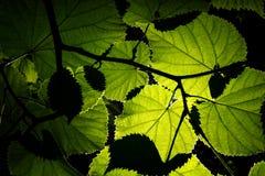 Αναδρομικά φωτισμένα φύλλα Στοκ εικόνες με δικαίωμα ελεύθερης χρήσης