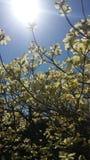 Αναδρομικά φωτισμένα magnolias Στοκ Εικόνες