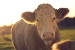 Αναδρομικά φωτισμένο πρόσωπο πορτρέτου αγελάδων επάνω Στοκ Εικόνες
