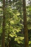 Αναδρομικά φωτισμένο Evergreens Στοκ εικόνες με δικαίωμα ελεύθερης χρήσης