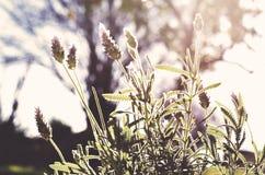 Αναδρομικά φωτισμένο lavender Στοκ Φωτογραφίες
