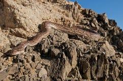 Ανγκόλα python Στοκ φωτογραφίες με δικαίωμα ελεύθερης χρήσης