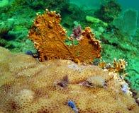 ανεμιστήρας κοραλλιών Στοκ εικόνες με δικαίωμα ελεύθερης χρήσης