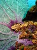ανεμιστήρας κοραλλιών Στοκ Εικόνες