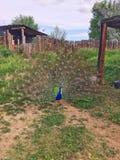 Ανεμιστήρες ενός αρσενικοί Peacock τα φτερά ουρών του μας στοκ φωτογραφίες με δικαίωμα ελεύθερης χρήσης