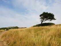 Ανεμοδαρμένο δέντρο στοκ εικόνες