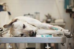 Ανεπαρκές σκυλί Στοκ Φωτογραφίες