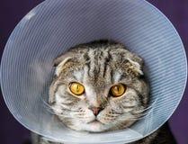 Ανεπαρκής γάτα σε ένα πλαστικό προστατευτικό περιλαίμιο στοκ φωτογραφία
