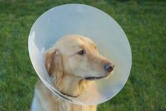 Ανησυχημένο χρυσό Retriever σκυλί με τον κώνο Στοκ Εικόνα