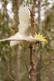 Ανησυχημένο Cockatoo στην Αυστραλία Στοκ φωτογραφία με δικαίωμα ελεύθερης χρήσης