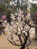 Ανθίζει την άνοιξη τη σειρά: άσπρο δαμάσκηνο (Bai mei στα κινέζικα) bloss Στοκ φωτογραφίες με δικαίωμα ελεύθερης χρήσης