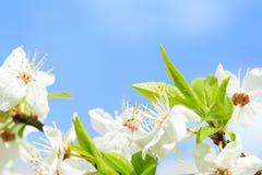 Ανθίζει το ανθίζοντας κορόμηλο λεπτομερές ανασκόπηση floral διάνυσμα σχεδίων Στοκ φωτογραφία με δικαίωμα ελεύθερης χρήσης