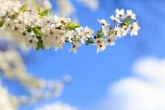 Ανθίζει το ανθίζοντας κορόμηλο λεπτομερές ανασκόπηση floral διάνυσμα σχεδίων Στοκ Εικόνες