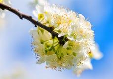 Ανθίζει το ανθίζοντας κορόμηλο λεπτομερές ανασκόπηση floral διάνυσμα σχεδίων Στοκ εικόνα με δικαίωμα ελεύθερης χρήσης