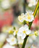 Ανθίζει το ανθίζοντας κορόμηλο λεπτομερές ανασκόπηση floral διάνυσμα σχεδίων Στοκ Φωτογραφία