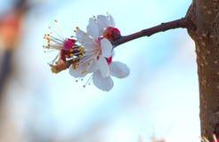 Ανθίζει το ανθίζοντας κορόμηλο λεπτομερές ανασκόπηση floral διάνυσμα σχεδίων Στοκ Εικόνα