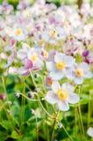 Ανθίζει anemones τα ιαπωνικά σε έναν κήπο, στενός ένας επάνω Στοκ Εικόνα