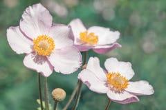 Ανθίζει anemones Στοκ εικόνες με δικαίωμα ελεύθερης χρήσης