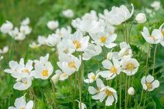 Ανθίζει anemones Στοκ Εικόνες