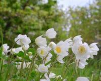 Ανθίζει anemones Στοκ Εικόνα