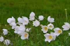 Ανθίζει anemones Στοκ Φωτογραφίες