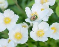 Ανθίζει anemones Chafer κάνθαρος σε ένα λουλούδι Στοκ φωτογραφίες με δικαίωμα ελεύθερης χρήσης