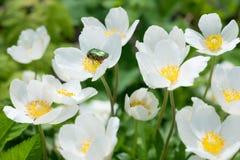 Ανθίζει anemones Chafer κάνθαρος σε ένα λουλούδι Στοκ Εικόνες