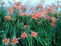 Ανθίζει daylilies Στοκ Φωτογραφία