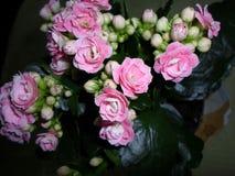 ανθίζει kalanchoe το ροζ Στοκ Εικόνες