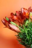 ανθίζει lilly το πορτοκαλί καλοκαίρι Στοκ Εικόνες