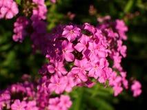 ανθίζει phlox το ροζ στοκ εικόνα με δικαίωμα ελεύθερης χρήσης