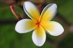 Ανθίζει: Plumeria, Frangipani, δέντρο ναών, χορός λουλουδιών Στοκ Εικόνες