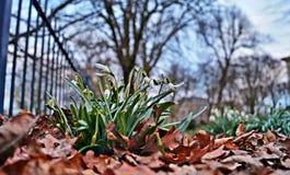 ανθίζει snowdrop Στοκ Εικόνα