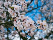 Ανθίζοντας άγριο βερίκοκο στον κήπο Ανθίζοντας δέντρα άνοιξη POL Στοκ Εικόνα