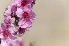 Ανθίζοντας άγριο ροδάκινο στον κήπο Στοκ φωτογραφία με δικαίωμα ελεύθερης χρήσης