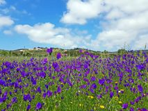 Ανθίζοντας άγριο lavender στην επαρχία από την Πορτογαλία Στοκ Εικόνα