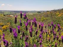 Ανθίζοντας άγριο lavender στην επαρχία από την Πορτογαλία Στοκ εικόνες με δικαίωμα ελεύθερης χρήσης