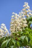 Ανθίζοντας άλογο κάστανων Άσπρες δέσμες των λουλουδιών κάστανων στο υπόβαθρο μπλε ουρανού, Ουκρανία Στοκ Φωτογραφίες