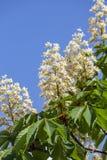 Ανθίζοντας άλογο κάστανων Άσπρες δέσμες των λουλουδιών κάστανων στο υπόβαθρο μπλε ουρανού, Ουκρανία Στοκ εικόνα με δικαίωμα ελεύθερης χρήσης
