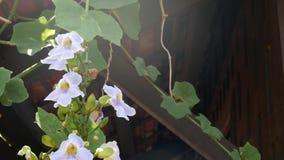Ανθίζοντας άμπελος έξω από το σπίτι Πράσινο κρασί με τα αρκετά άσπρα λουλούδια που αναρριχούνται στον τοίχο του ξύλινου παραδοσια απόθεμα βίντεο