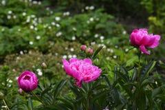 Ανθίζοντας άμπελοι στην κινηματογράφηση σε πρώτο πλάνο κήπων Στοκ φωτογραφία με δικαίωμα ελεύθερης χρήσης