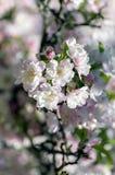 Ανθίζοντας άνθη δέντρων άνοιξη Στοκ φωτογραφίες με δικαίωμα ελεύθερης χρήσης