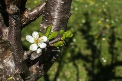 Ανθίζοντας άνθη δαμάσκηνων Στοκ Εικόνες