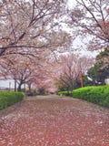Ανθίζοντας άνθη κερασιών σε Yokohama, Ιαπωνία Στοκ εικόνα με δικαίωμα ελεύθερης χρήσης
