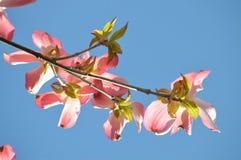 Ανθίζοντας άνθη μήλων καβουριών με το μπλε ουρανό Στοκ εικόνα με δικαίωμα ελεύθερης χρήσης