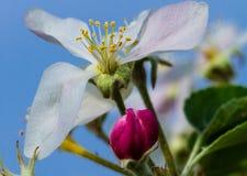 Ανθίζοντας άνθος μήλων Ζωηρόχρωμο λουλούδι στοκ φωτογραφία με δικαίωμα ελεύθερης χρήσης