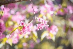 Ανθίζοντας άνθος λουλουδιών Sakura στο rai Chiang βουνών Pangkhon, Στοκ Φωτογραφία