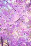 Ανθίζοντας άνθος λουλουδιών Sakura στο rai Chiang βουνών Pangkhon, Στοκ Εικόνες